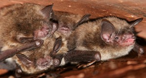 Bats Problems | Pest Control Long Island | NYC | Westchester | Rockland County