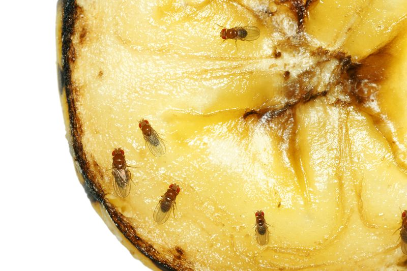 Fruit Flies Infestations And Fruit Fly Problems