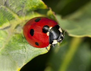 Ladybugs | Pest Control Service Rockland County | Westchester | NYC | Long Island