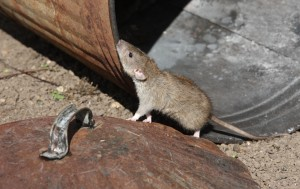 Rat Problems Long Island | NYC | Pest Control Service