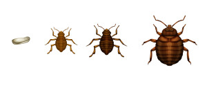 Bed Bug Detection NYC   Long Island   Brooklyn   Queens