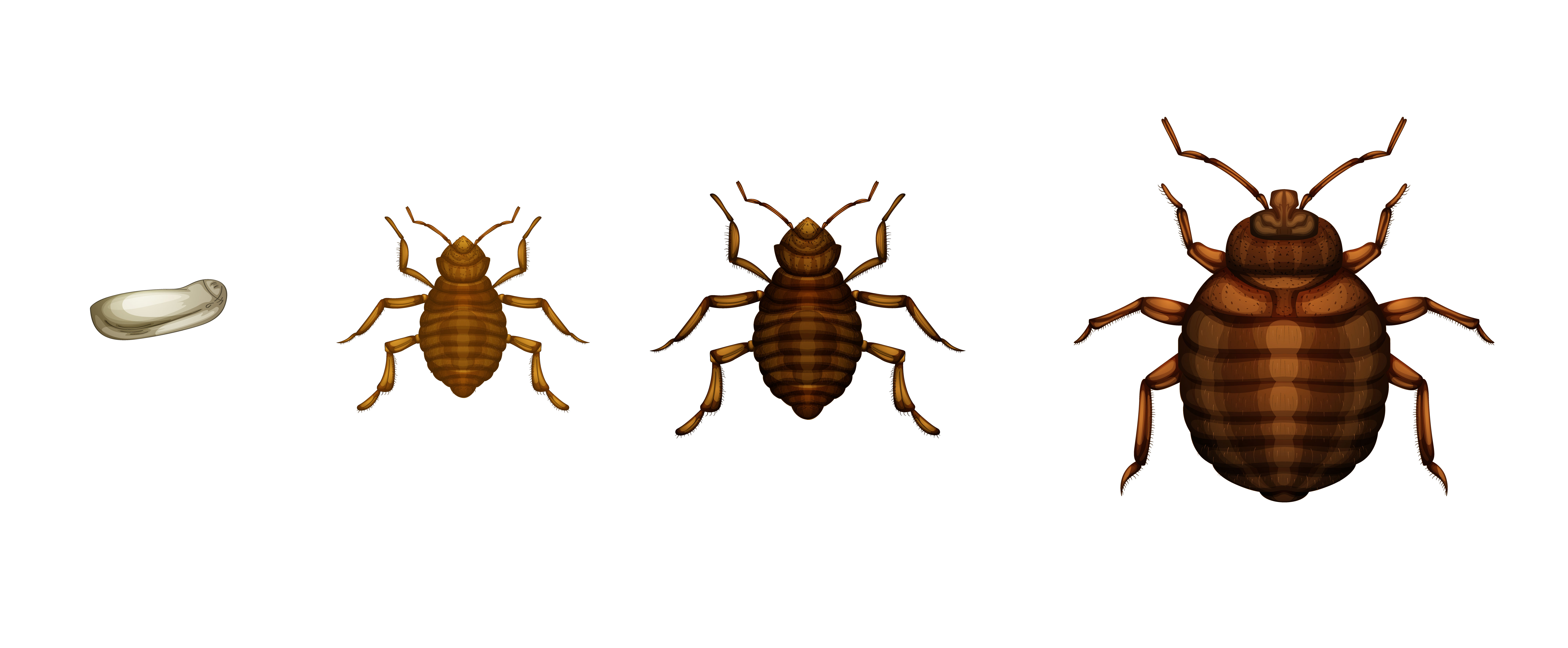bed bug basics how to detect and remove bed bugs in nyc. Black Bedroom Furniture Sets. Home Design Ideas