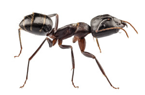 Carpenter Ant Exterminator Long Island | NYC | Rockland County | Westchester