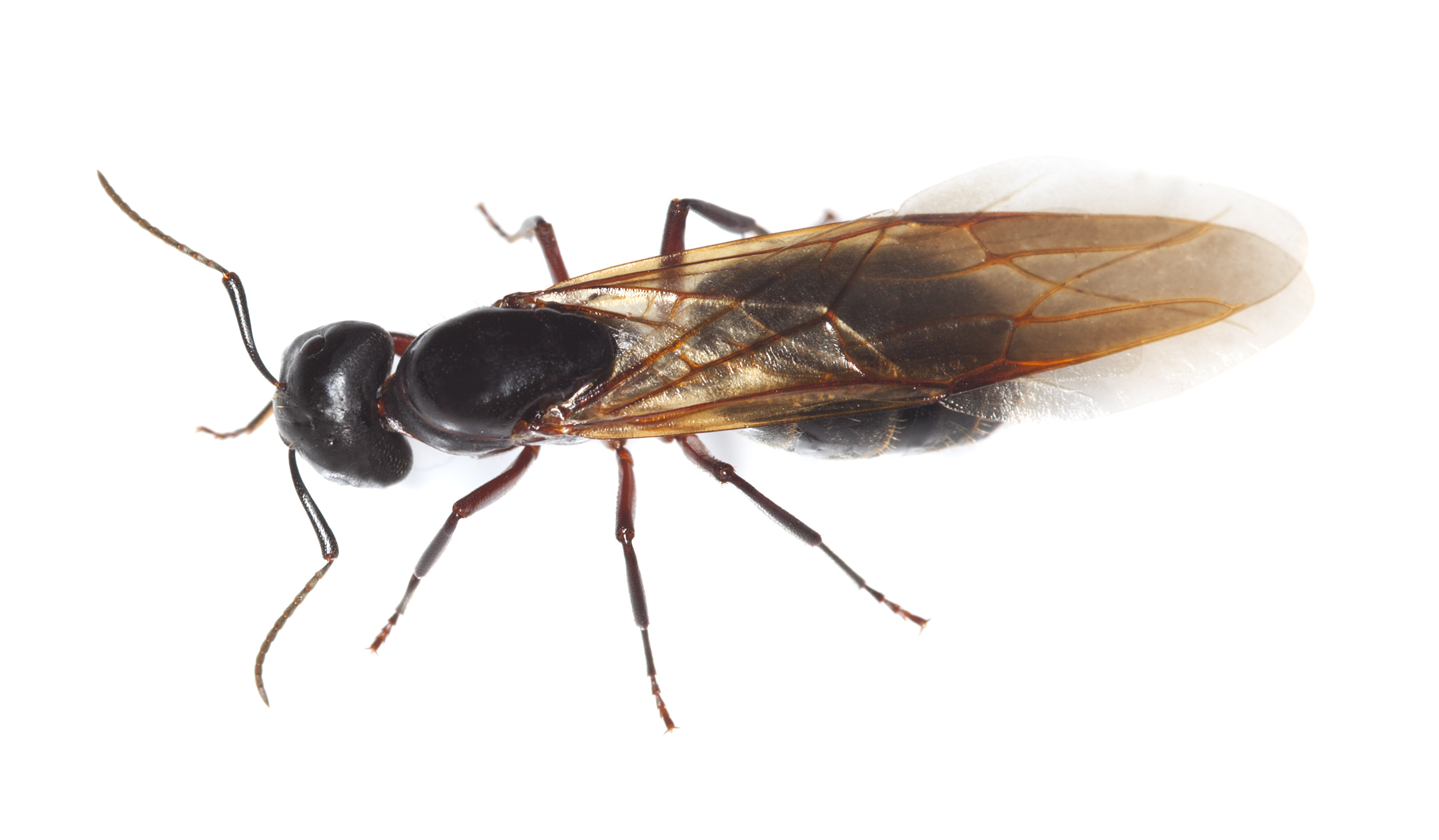 Carpenter Ant Problems | Pest Control NYC | Long Island