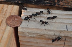 Ant Pest Control Service Long Island | NYC | Rockland County | Westchester County
