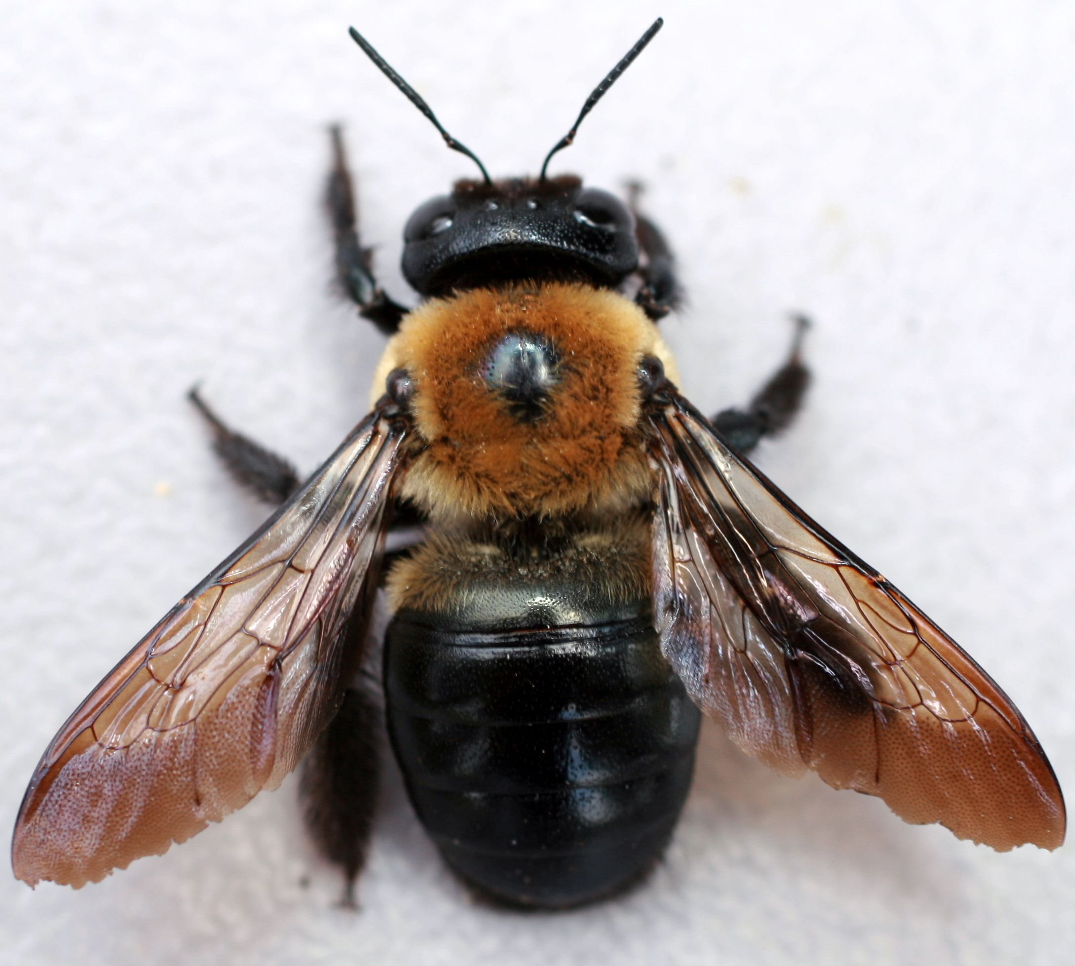 Zombie bee parasite that takes over the body of the