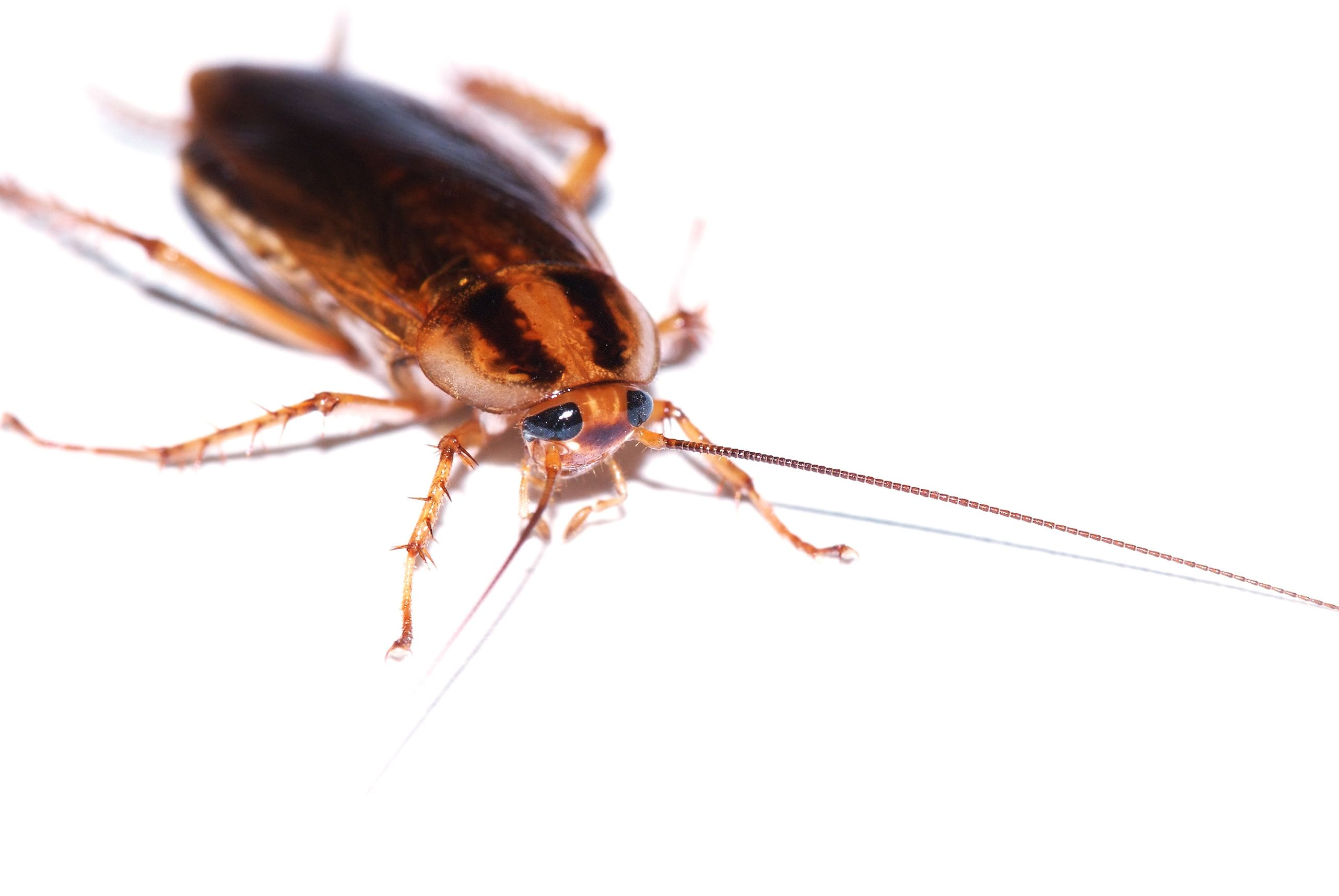 Cockroach Problems Pest Control Nyc Long Island