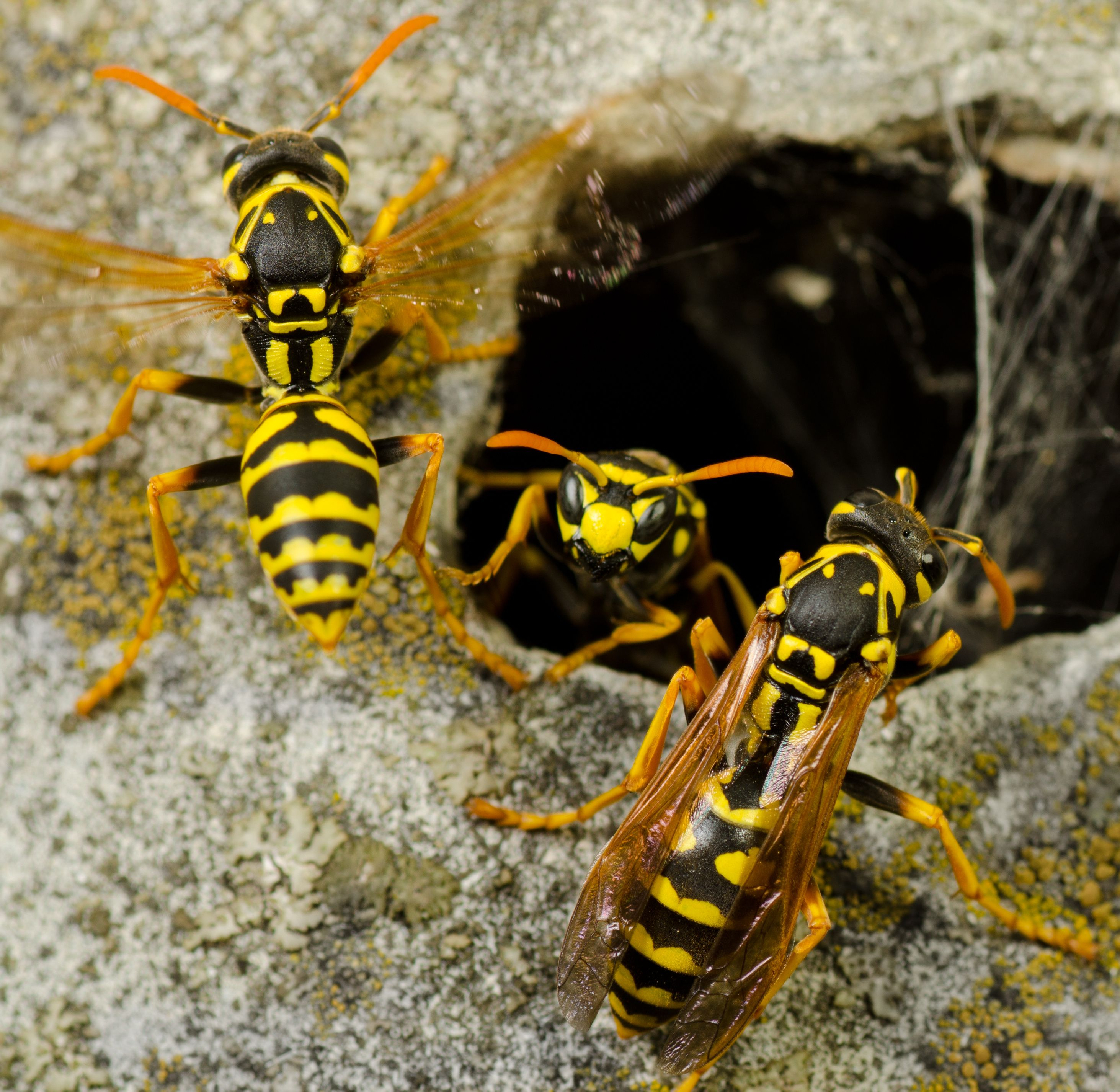 What does a wasp queen look like