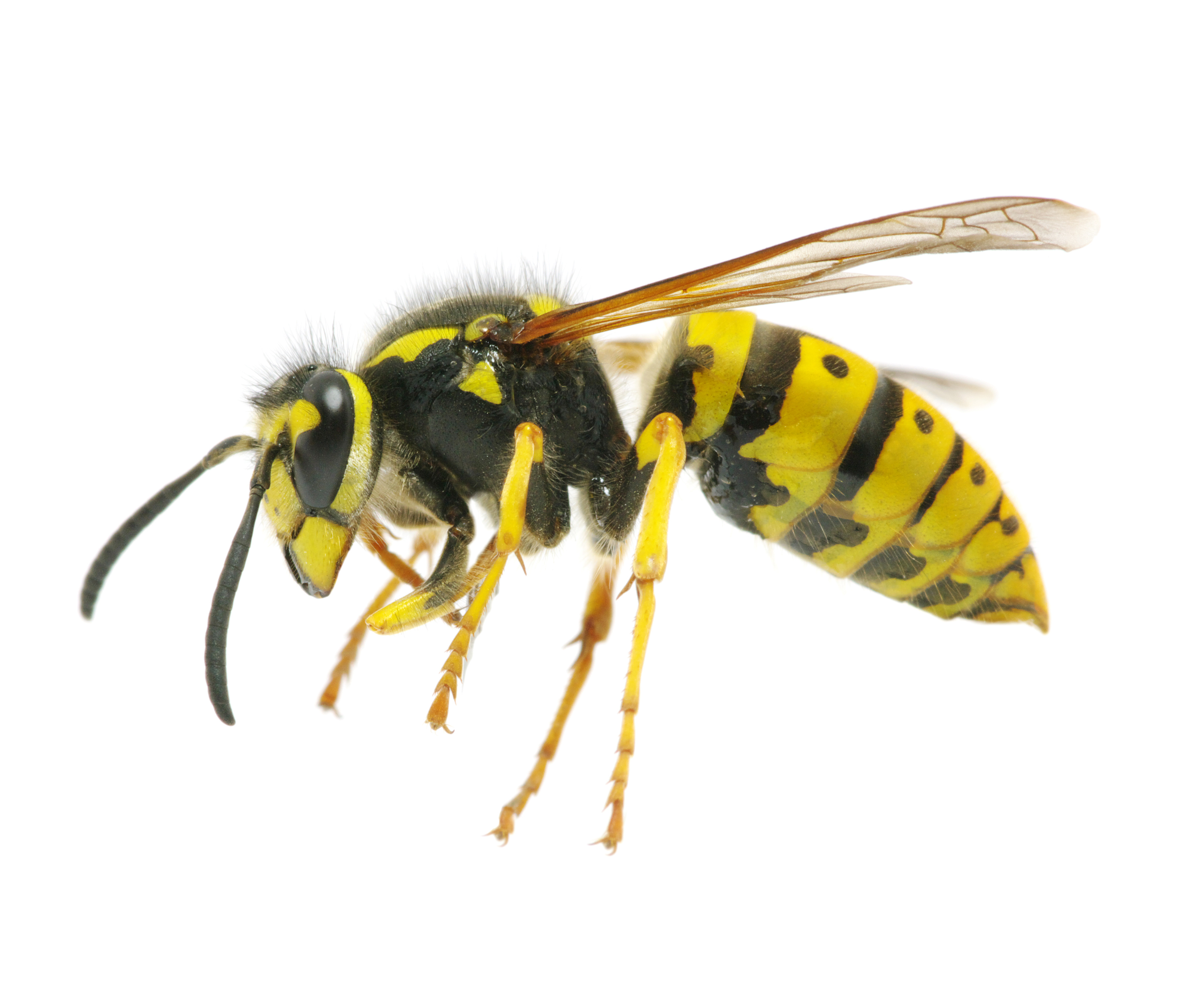 Yellow jackets ground hornets - Yellow Jackets Exterminators Nyc Long Island