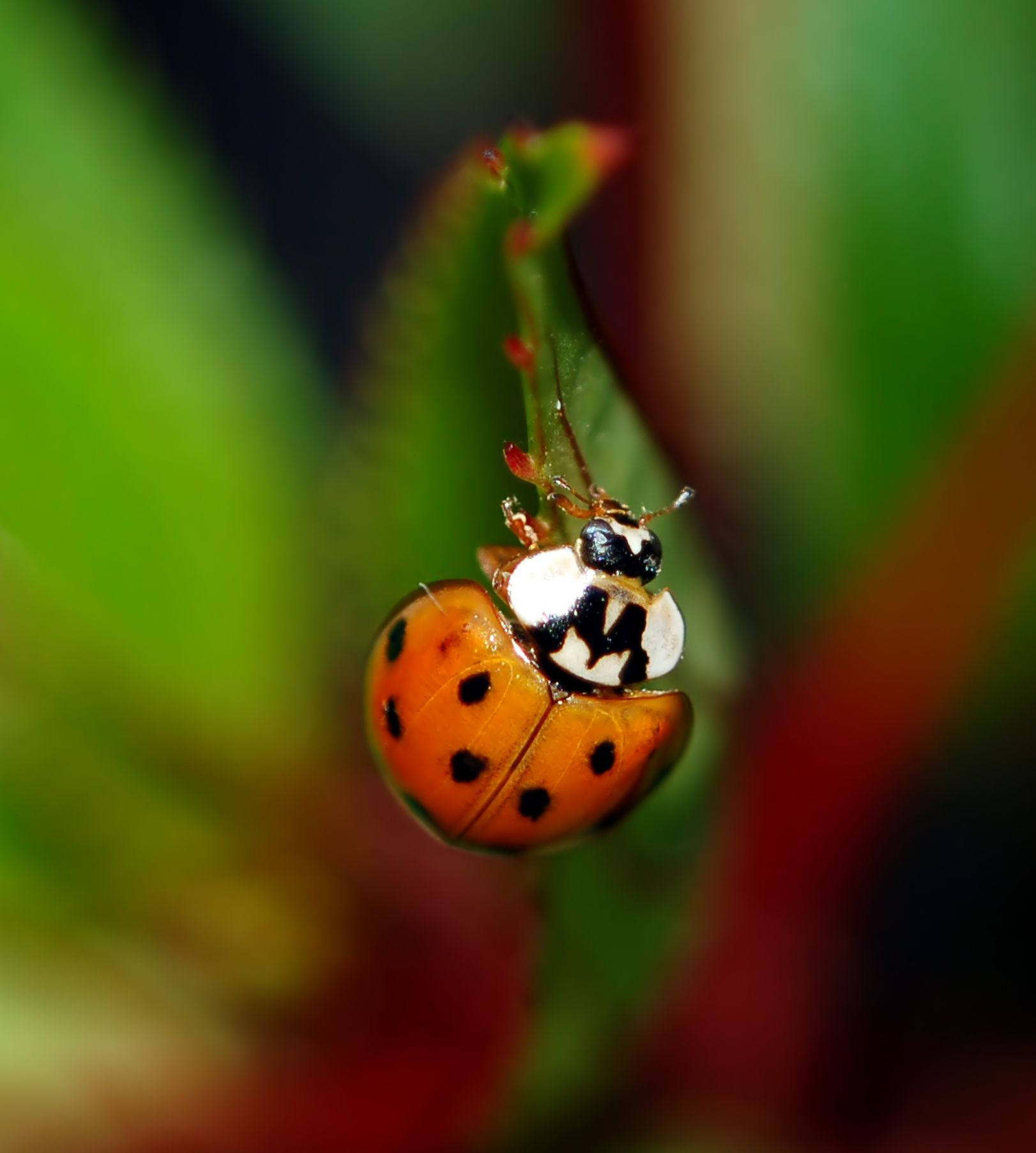 How To Get Rid Of Asian Ladybugs 57