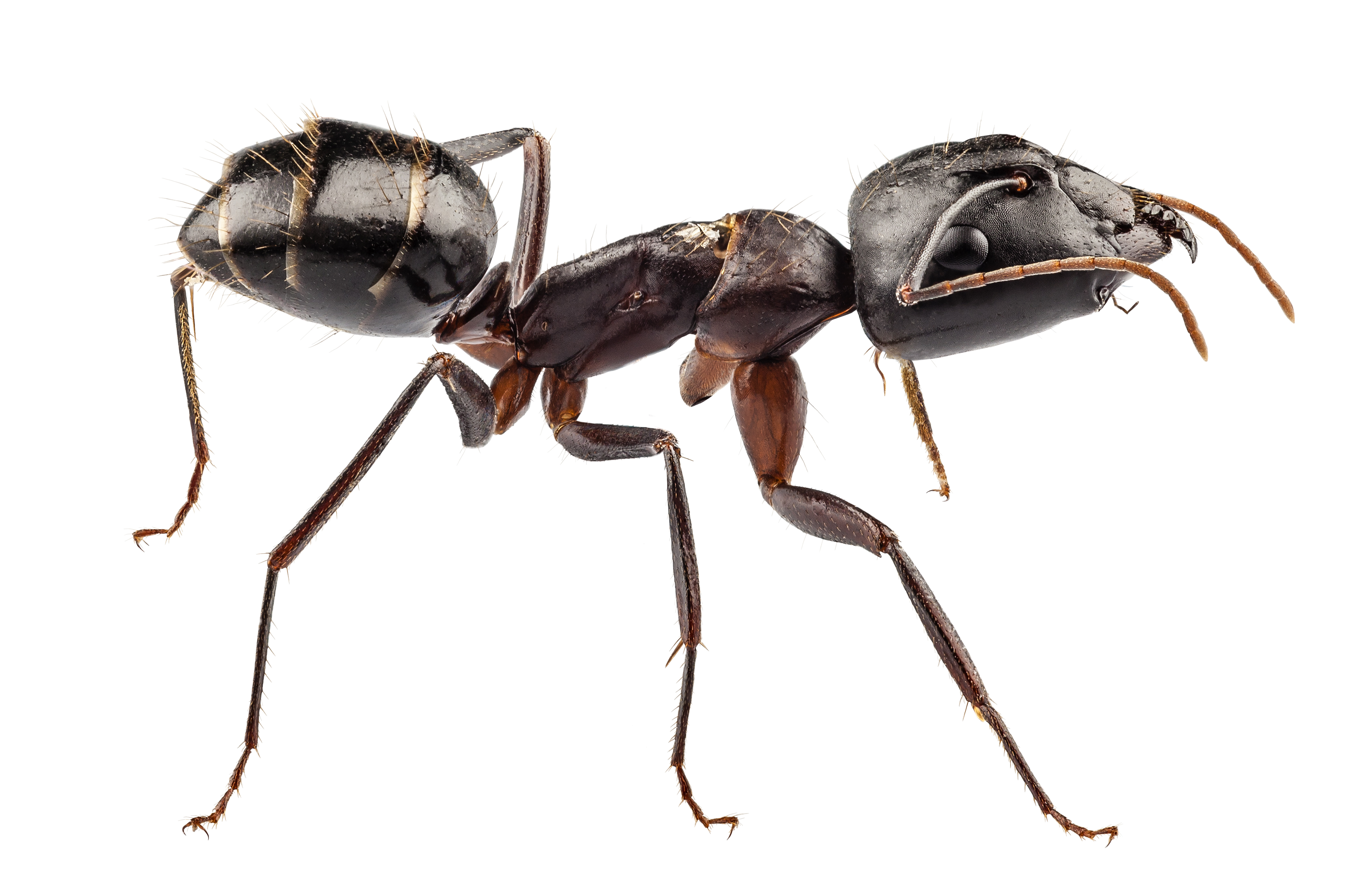 Ant Infestations | Insect Extermination Long Island | Pest Control NYC