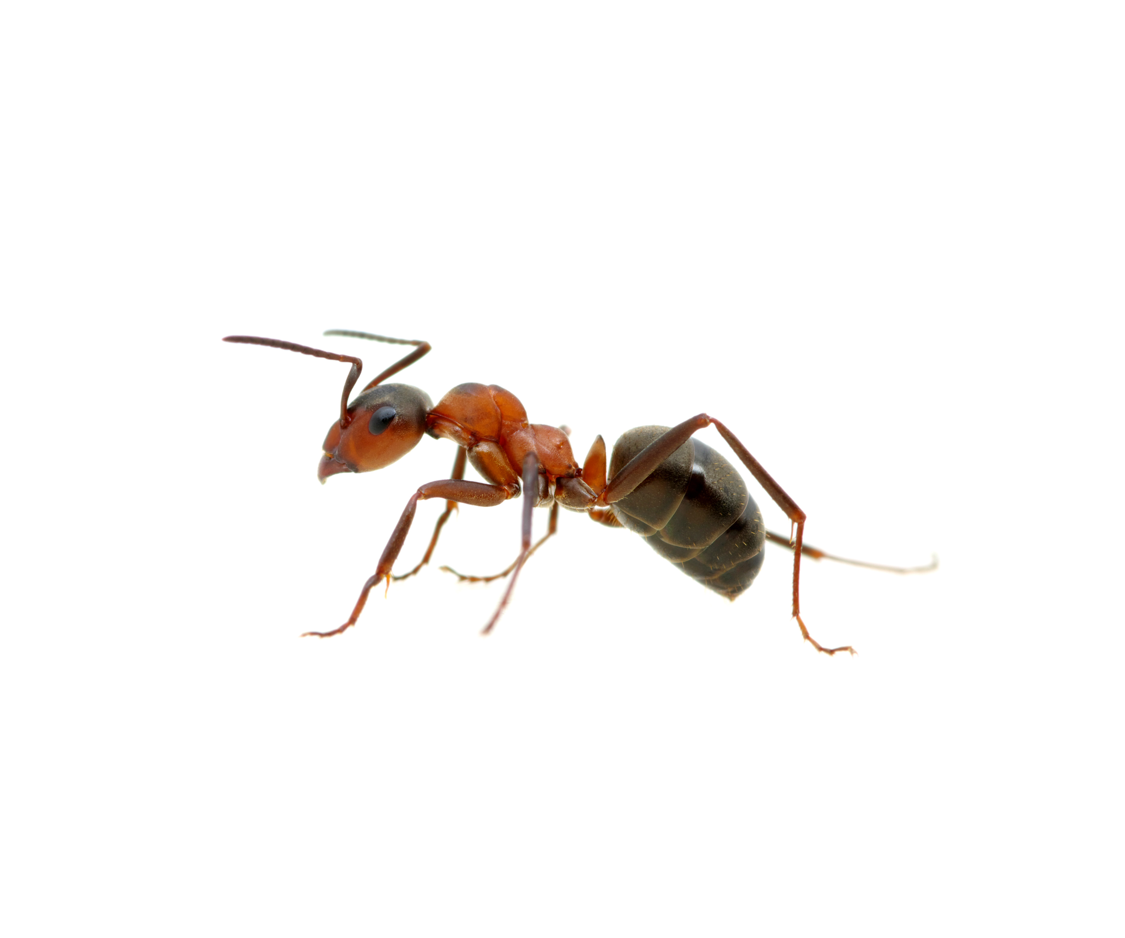 Ant Pest Control Services, Infestation Removal
