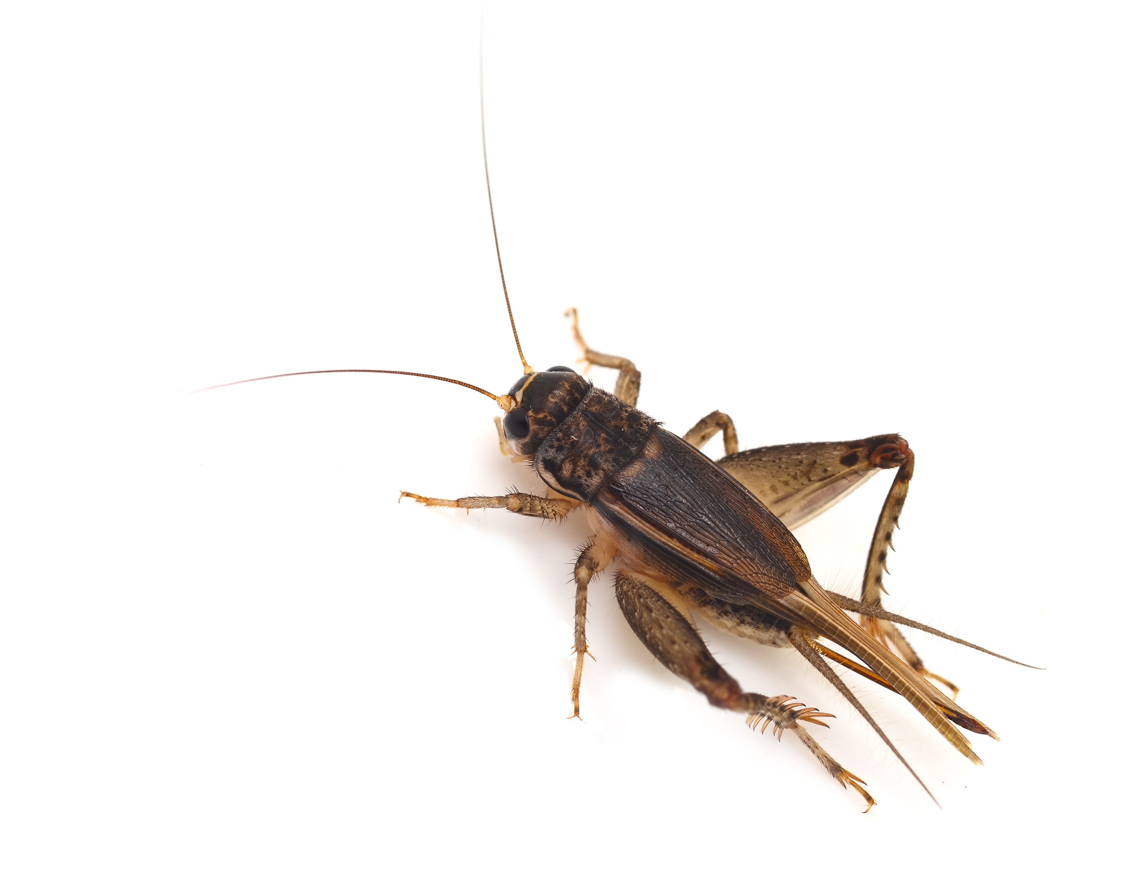 Get Rid of Crickets Pest Control Long Island