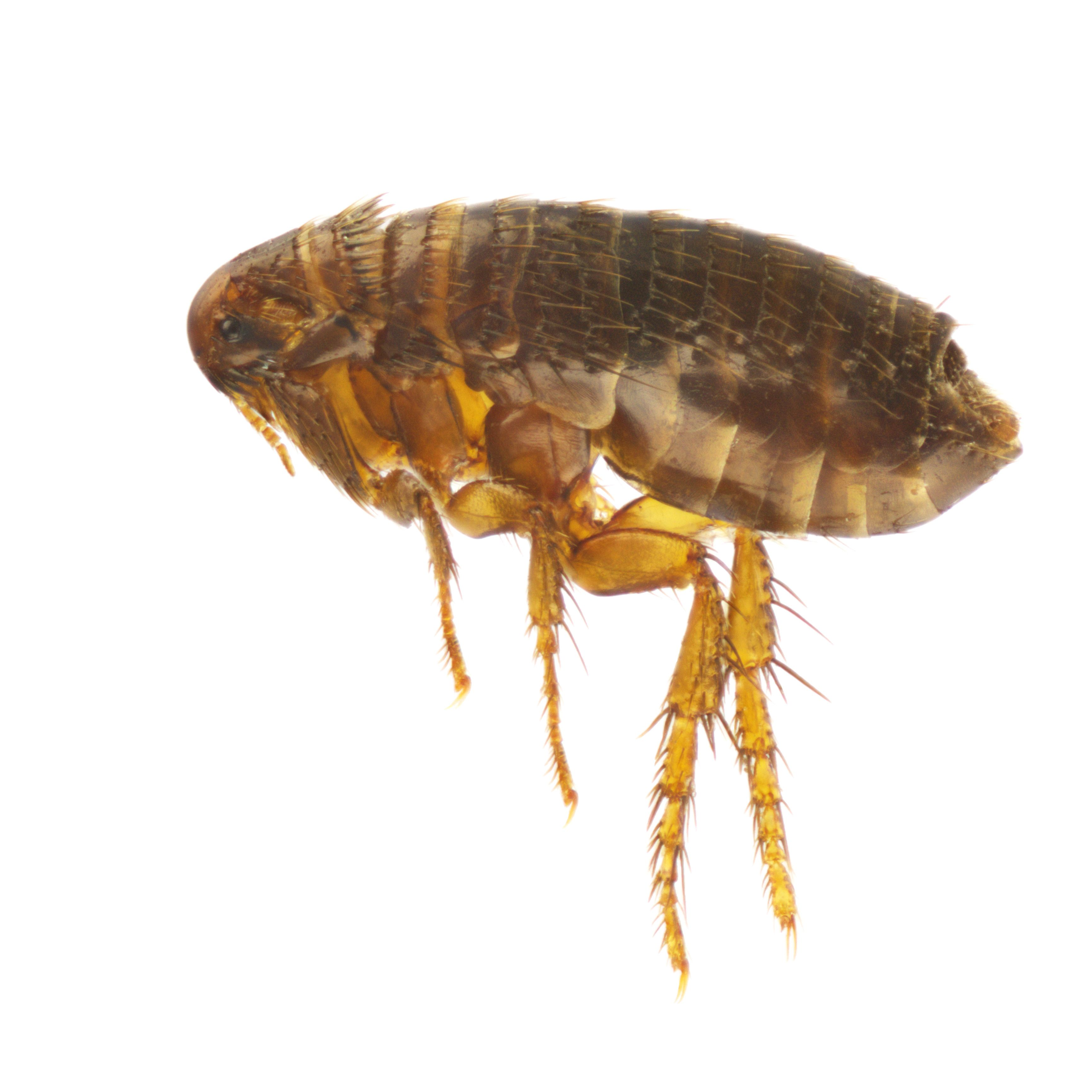 show me a picture of a flea