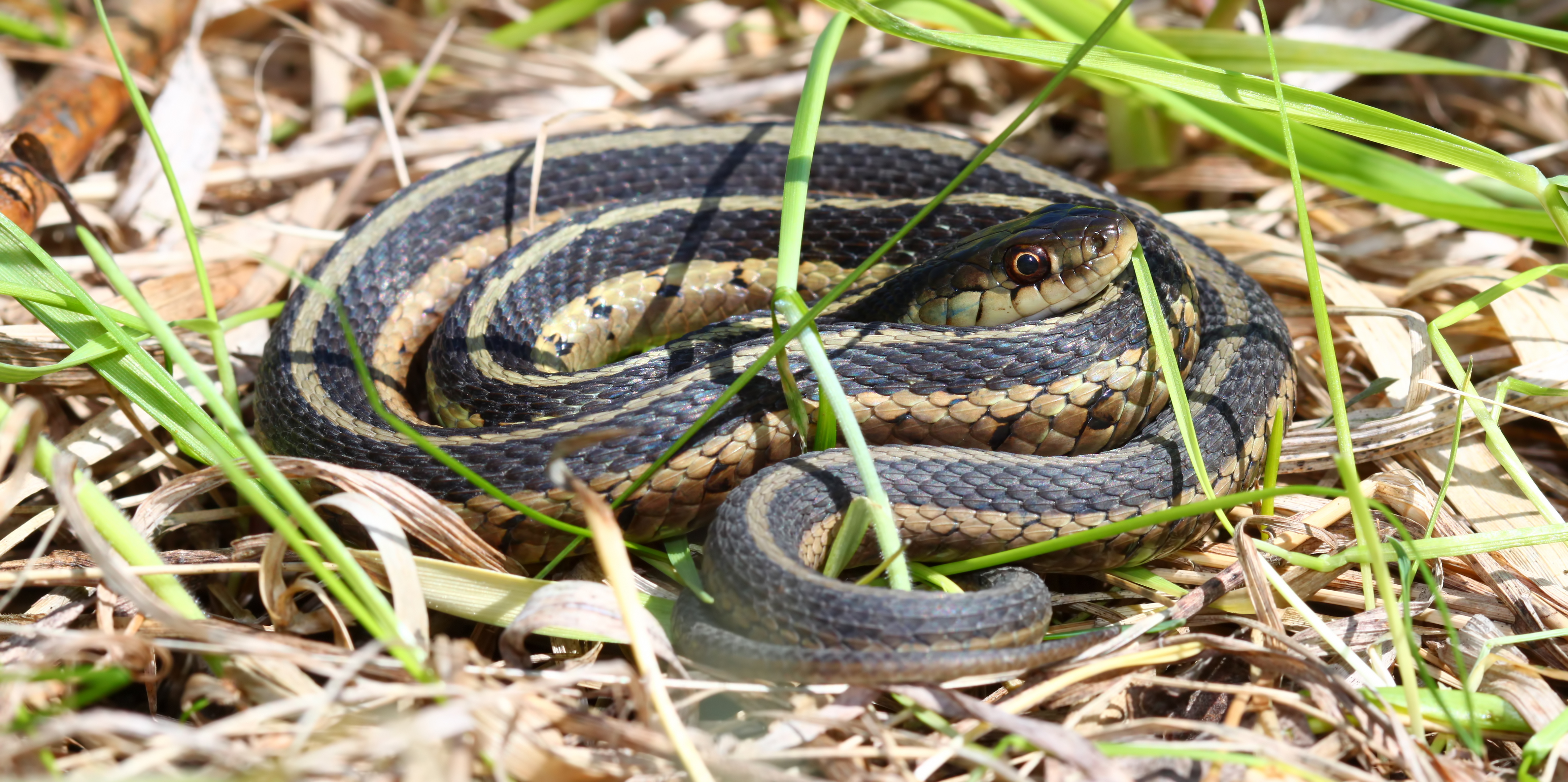 Very asian garter snakes agree with