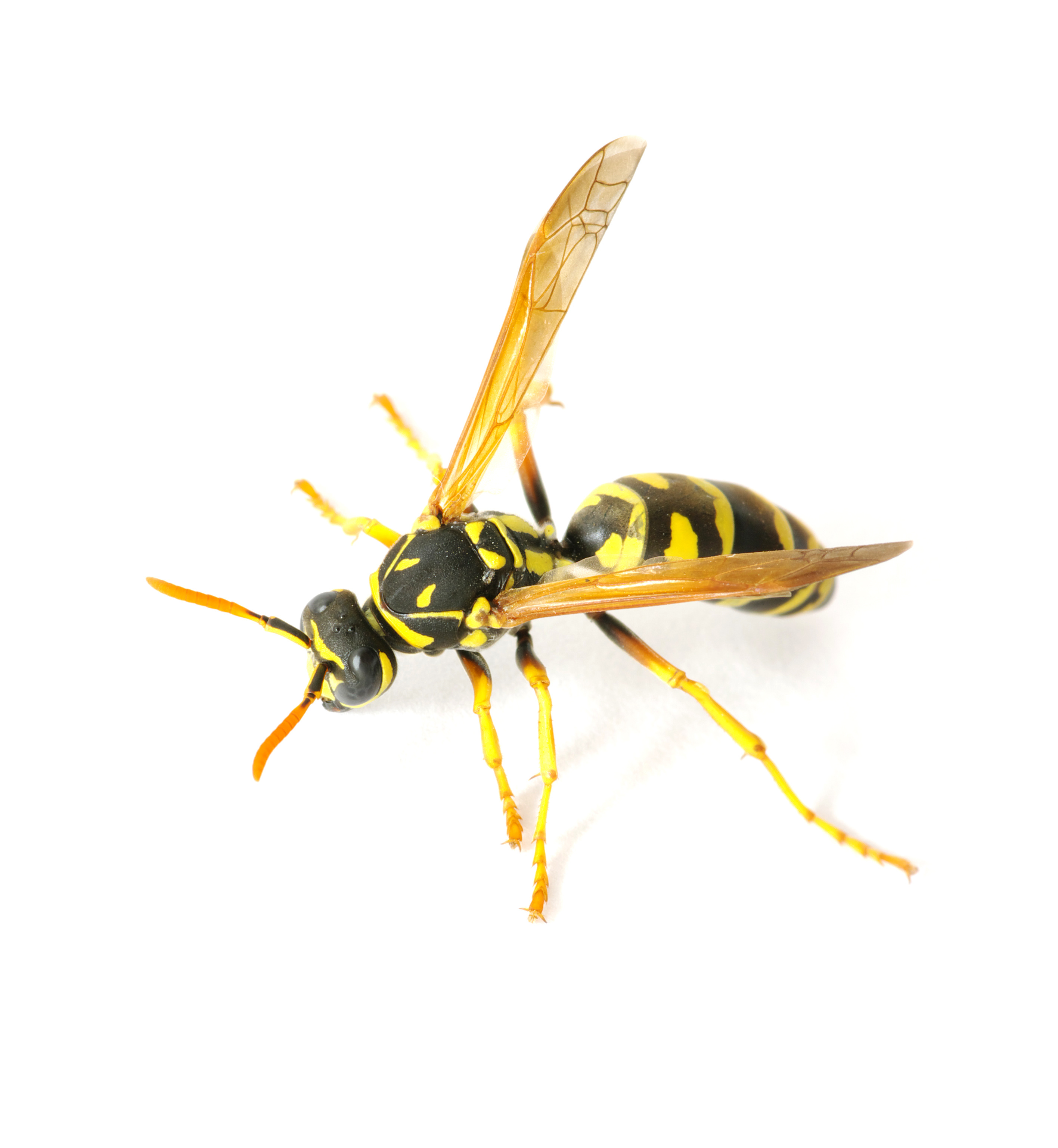Kill yellow jackets in the ground -  Yellow Jackets Exterminators Westchester Rockland County