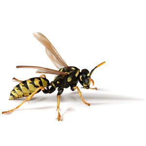 Yellow Jackets | Pest Control Westchester | Rockland County
