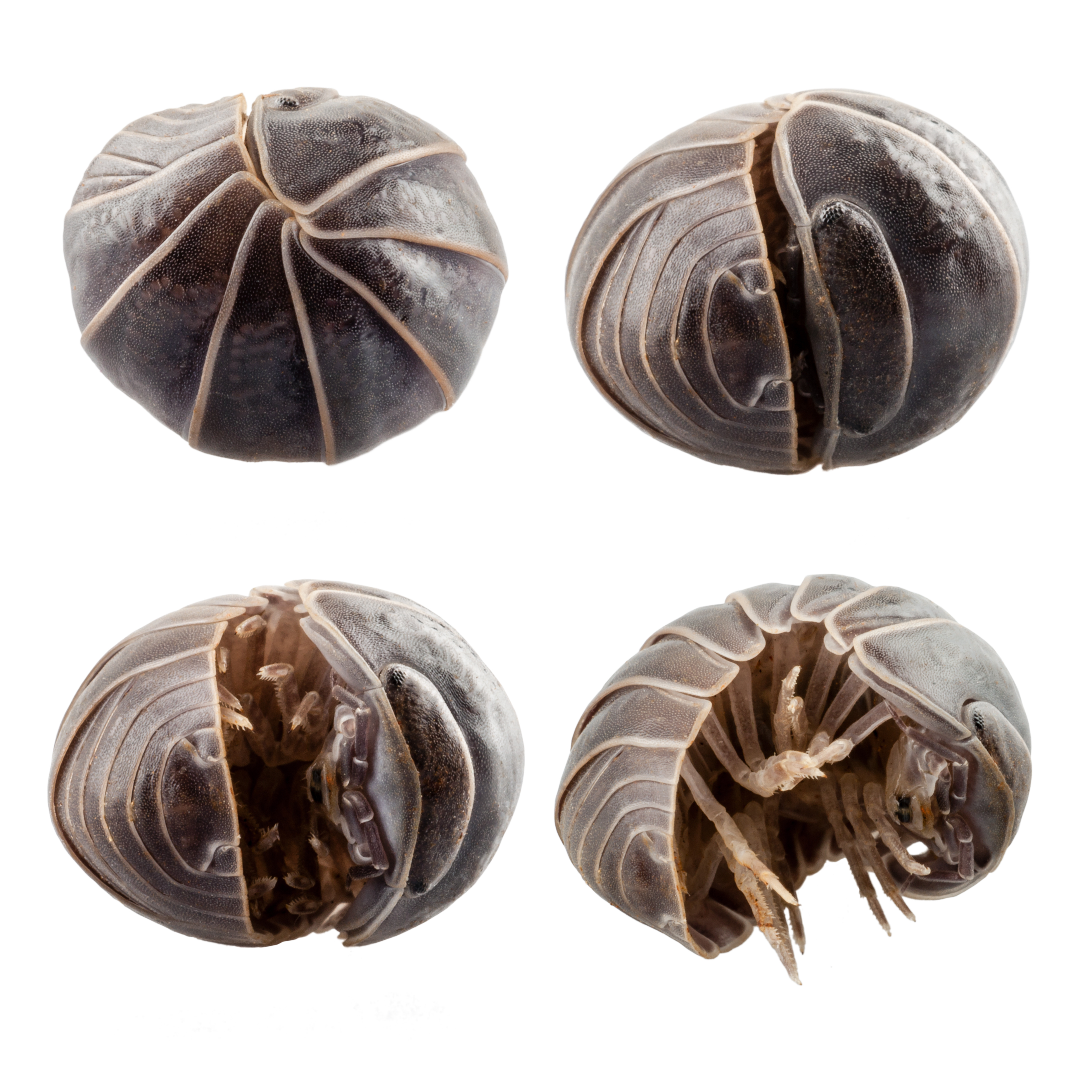 Pill Bugs Or Sow Bug Infestations And Pill Bug Problems