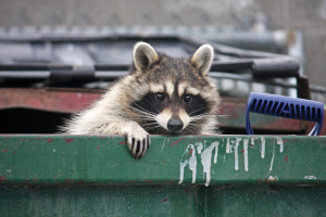 Racoon Problems | Pest Control Long Island | NYC | Westchester NY