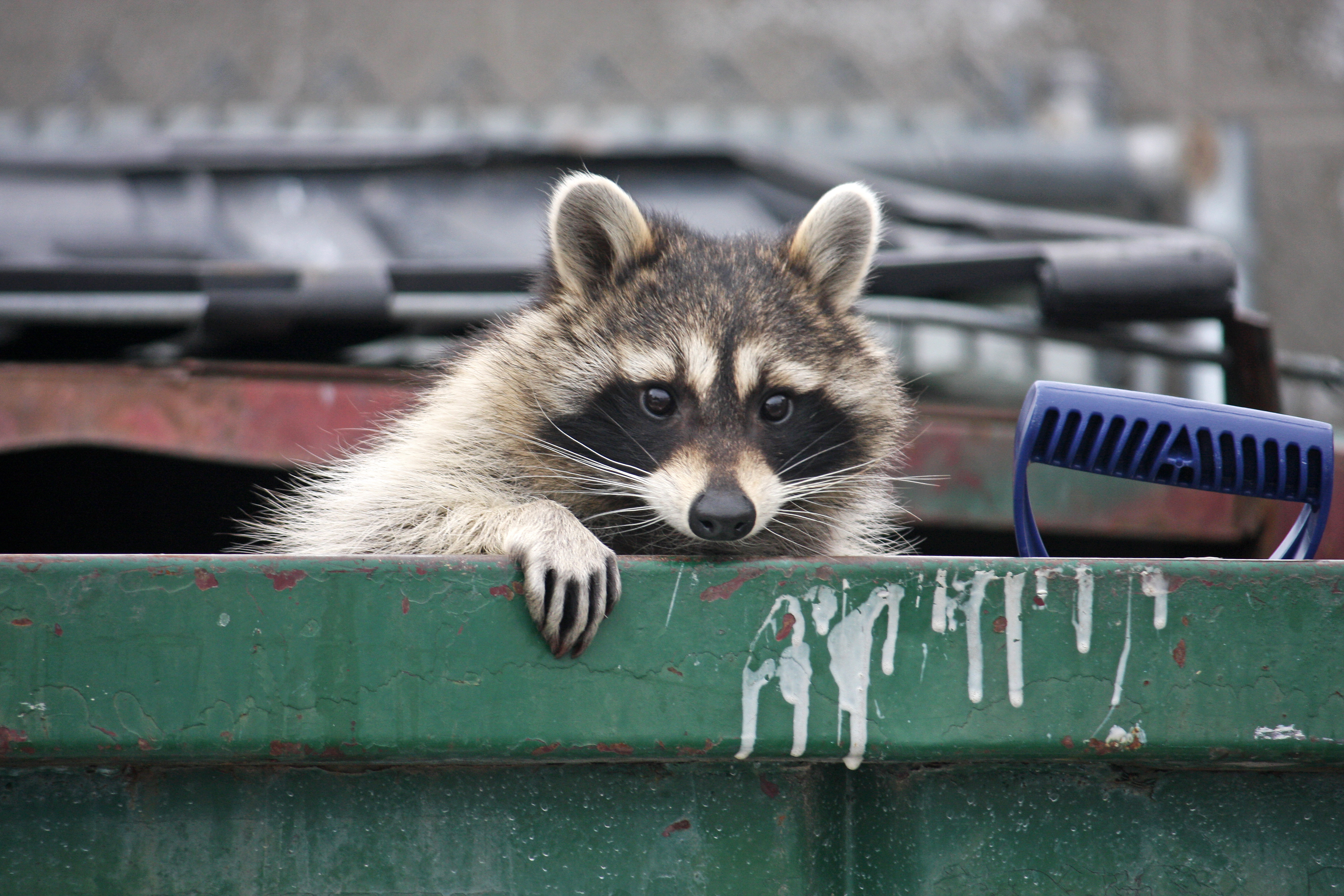 raccoon removal los angeles,los angeles animal removal,coyote trapping and removal