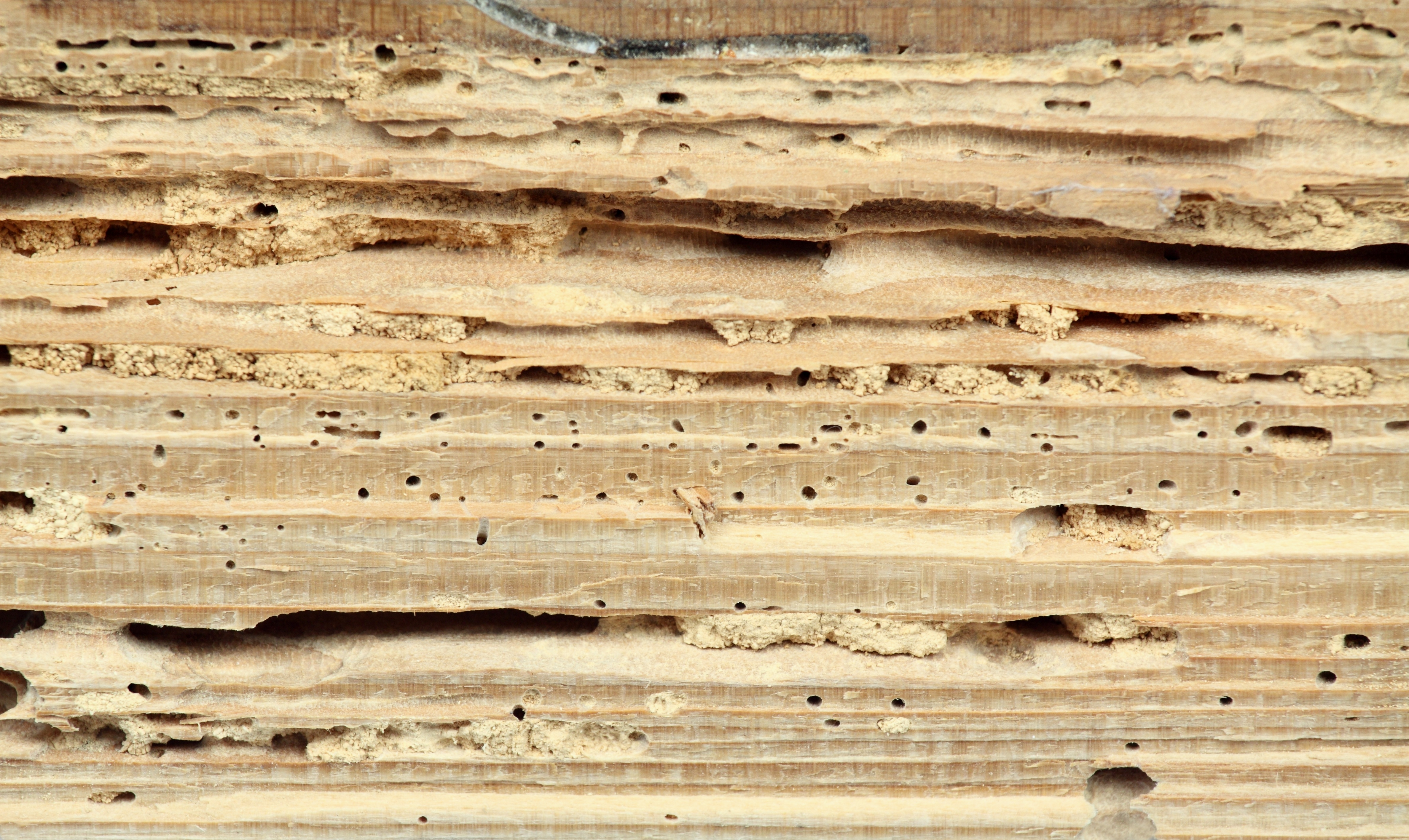 Very Impressive portraiture of wood destroying insects that nest underground and seek sources of wood  with #A58026 color and 4752x2835 pixels