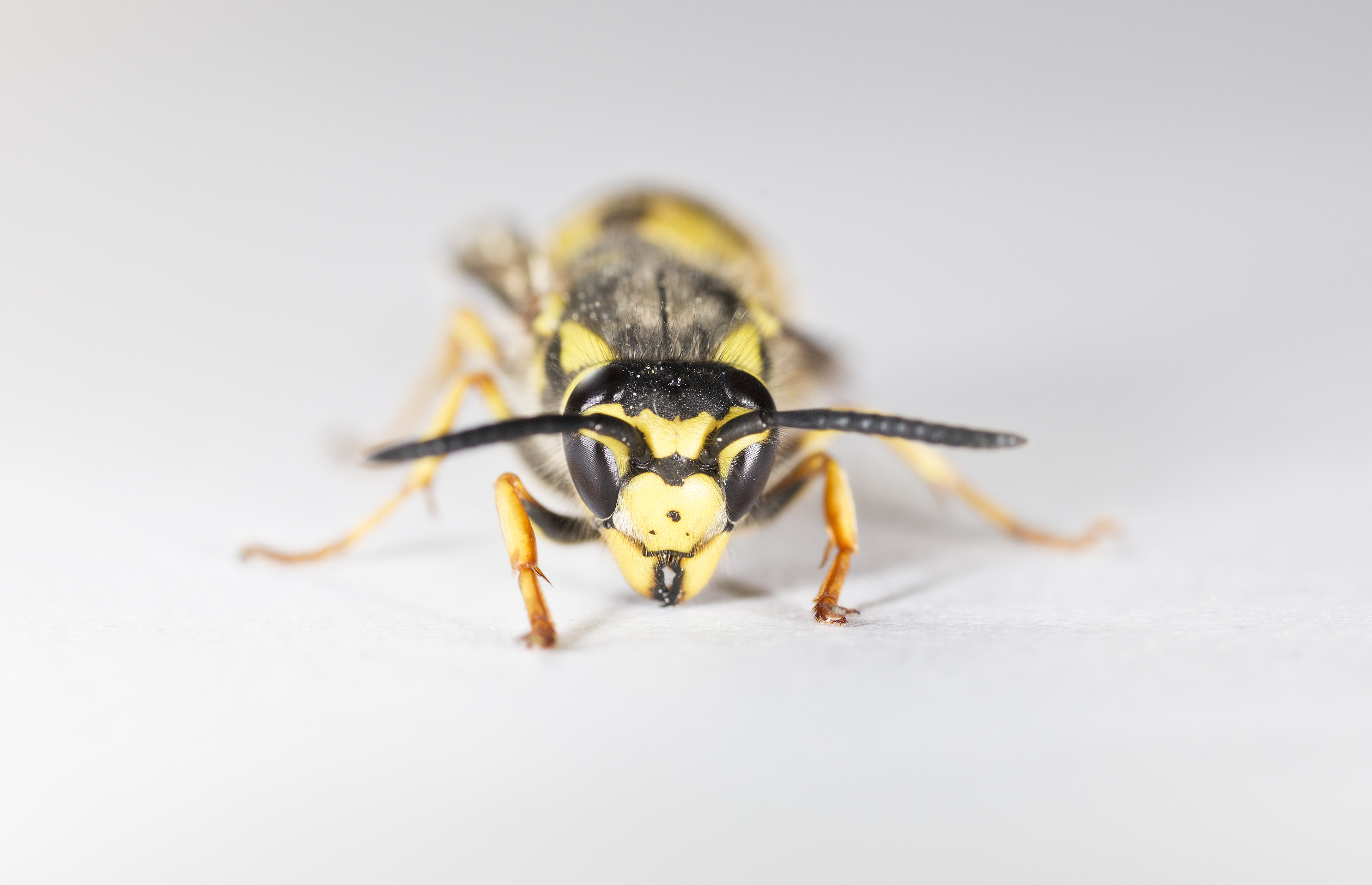 how to get rid of bees wasps and hornets