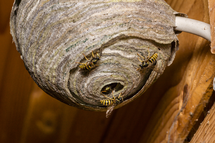 How to Get Rid of a Wasps Nest Having a wasps nest in or around your home is an unpleasant situation to be in especially if you have small children or