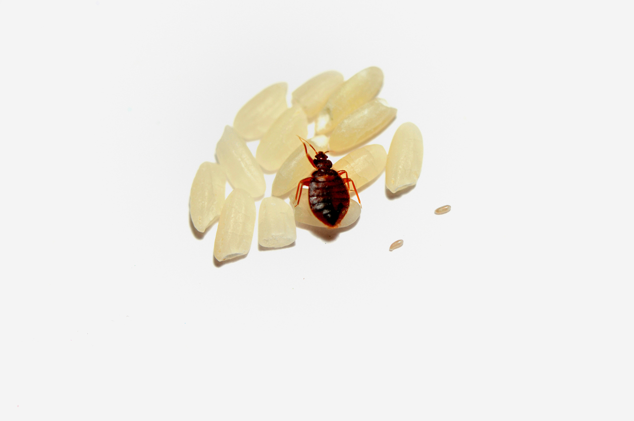 bed bug pest control   long island nyc