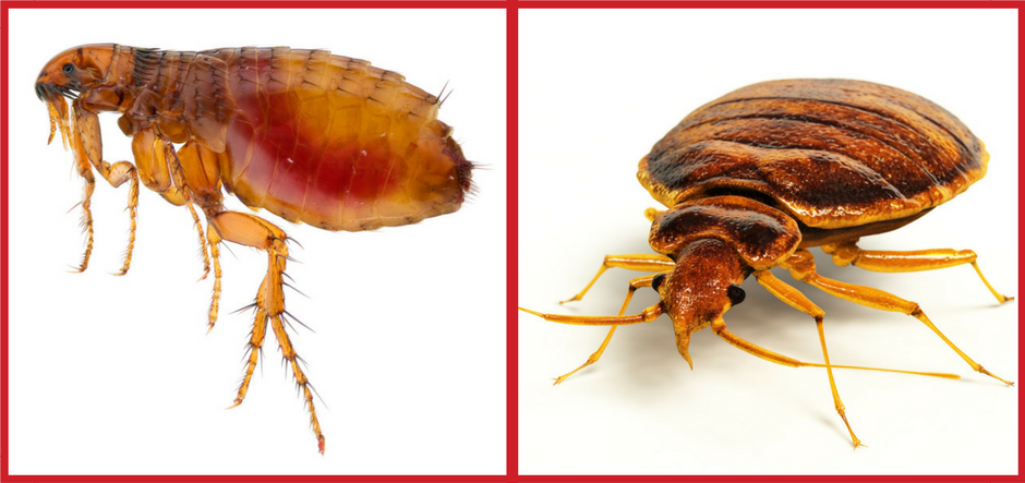 What Are The Differences Between Fleas Bed Bugs