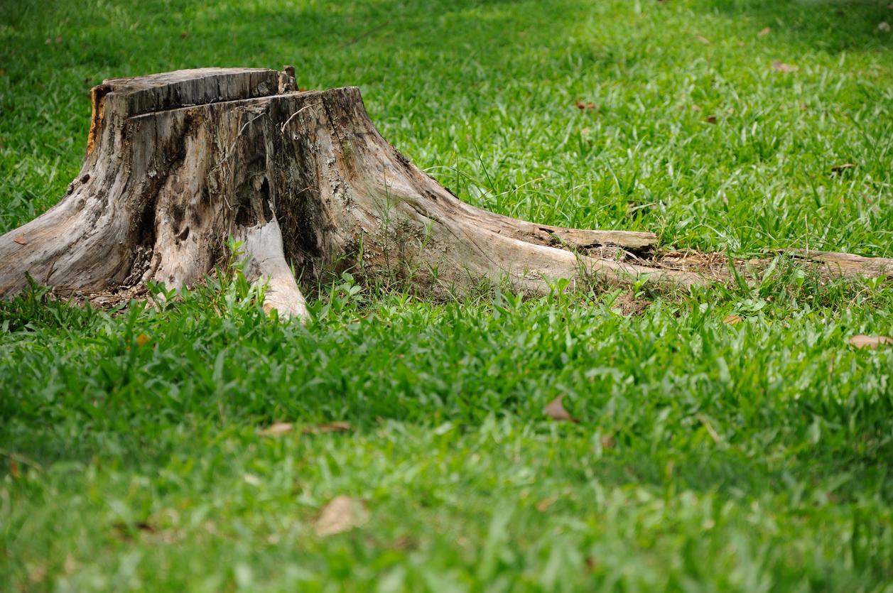 tree stump with termites