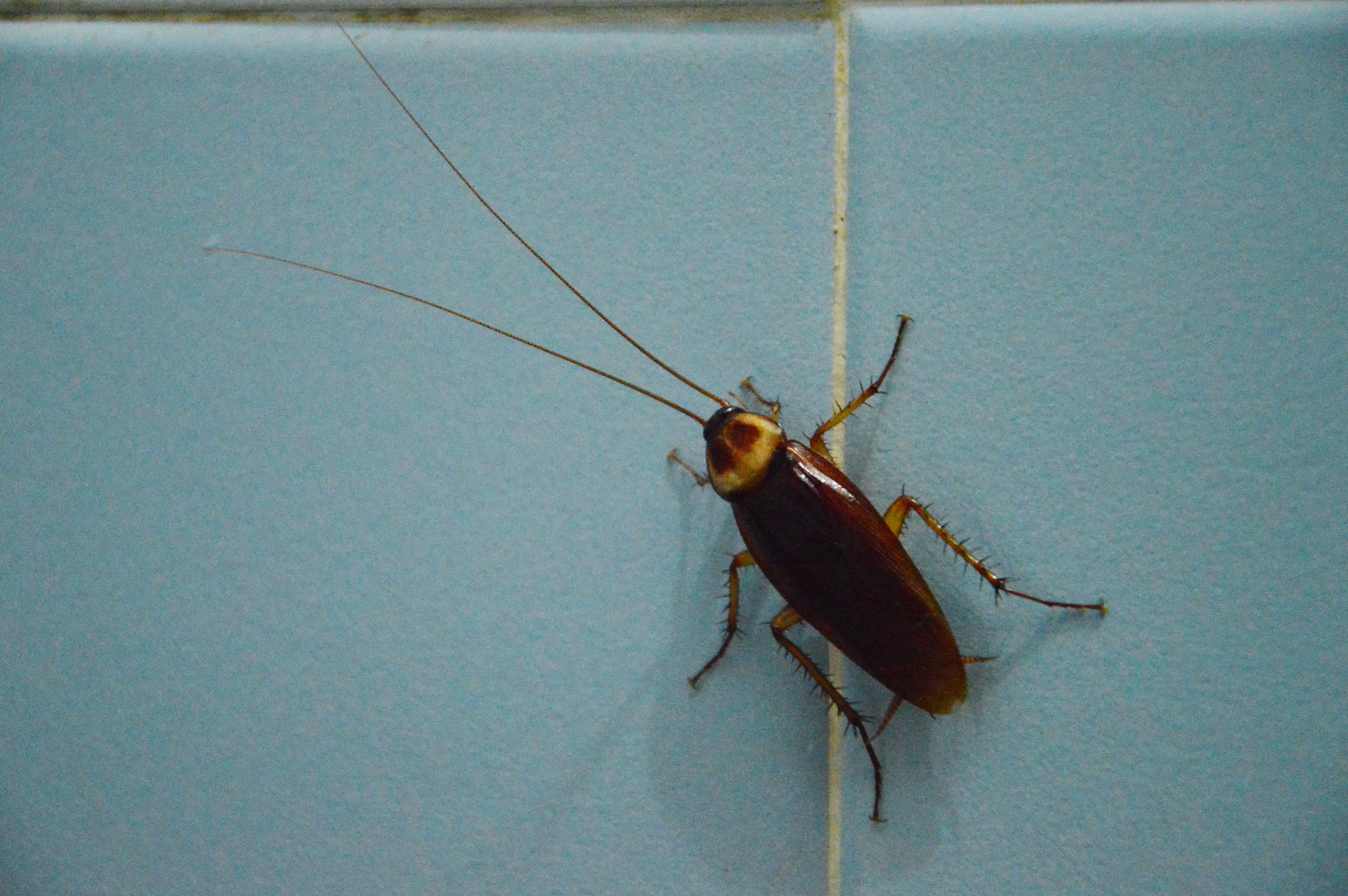 Cockroach On Bathroom Wall Knockout Pest Control - Cockroach in bathroom