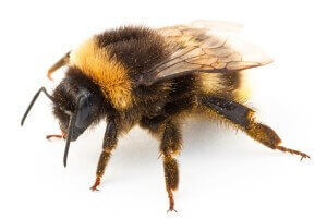 Close up of Bumble Bee