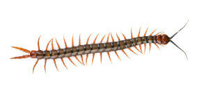 Centipede and Millipede Pest Control Services, Removal